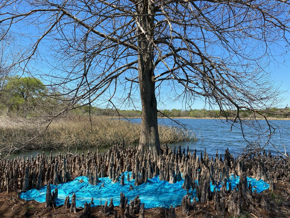 Flooded Land - The water levels of this lake are very low do to drought caused by climate change. This land in front of this gorgeous cyprus tree usually is covered in water. This piece is willing the lake levels to rise again.