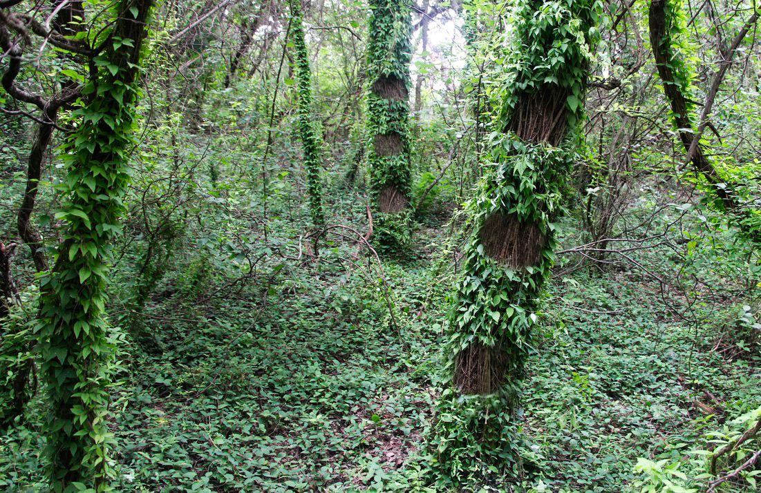 Invasive Subtraction: Tiple circlet subtraction of Invasive cats claw creeper (Dolichandra unguis) on two trees surrounded by a sea of cats claw waves.