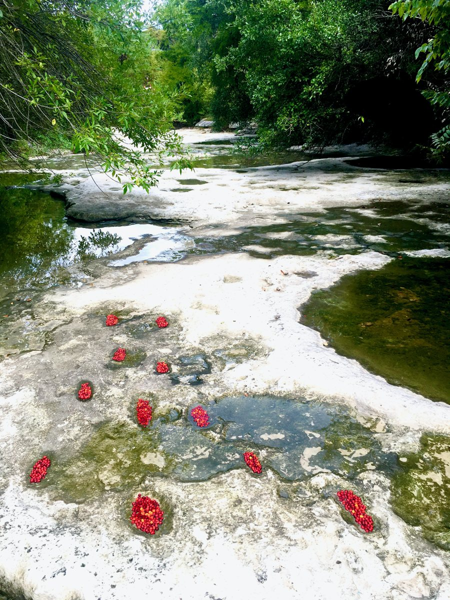 Seedbank Footprints: Who knows where these red mountain laurel seeds will end up sprouting a tree down stream when the creek rises.